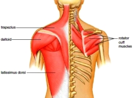Muscles of the posterior shoulder